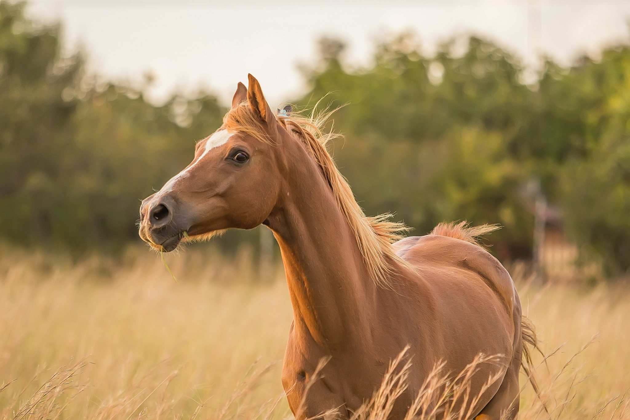 Horse portraits from photos like this beautiful artwork are the perfect gift for your favorite equestrian enthusiast.